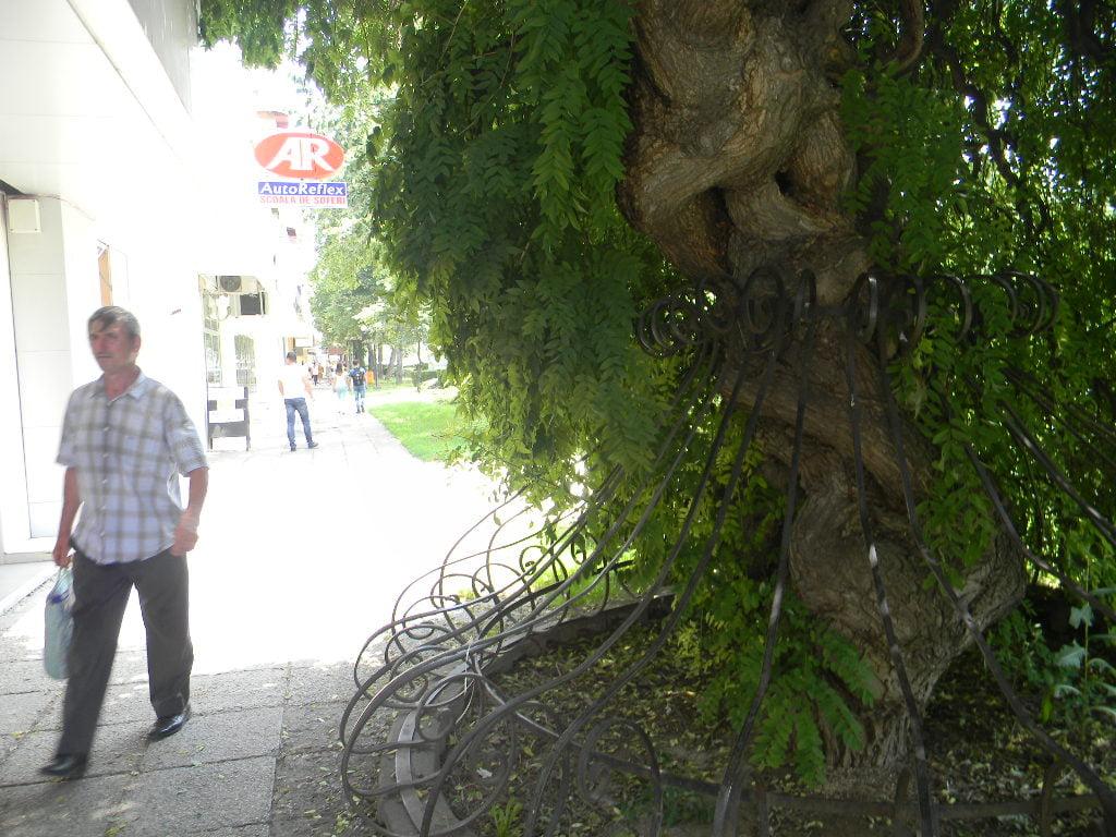 """Povestea copacului """"împletit"""" din Satu Mare. Cum ignoră lumea o poveste extraordinară"""