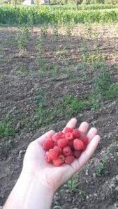 plantatie zmeura