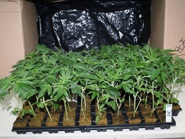 52 de plante de canabis descoperite de polițiști în casa unui sătmărean