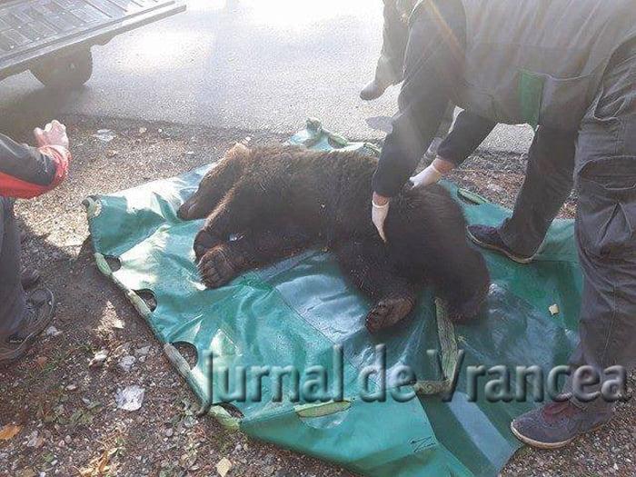 Un sătmărean a accidentat grav un ursuleț în județul Vrancea