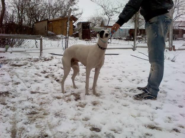Un tânăr din Odoreu a intrat în atenția poliției după ce a vânat o vulpe cu ajutorul câinilor