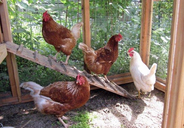 Aveți găini în curte? Țineți-le închise, gripa aviară bate la ușă