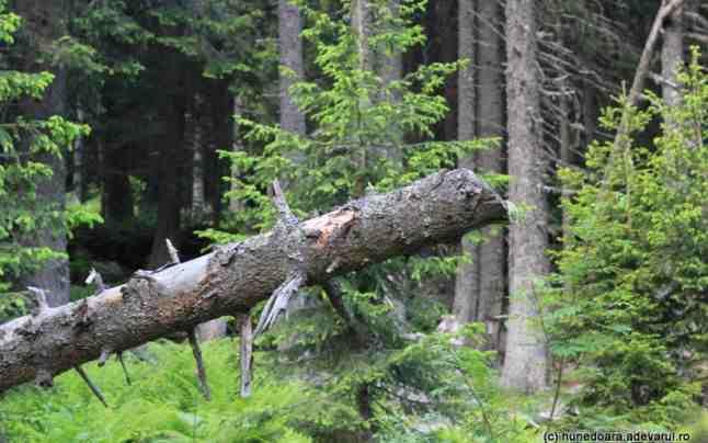 Accident la pădure în Borlești. Un bărbat s-a ales cu coloana secționată