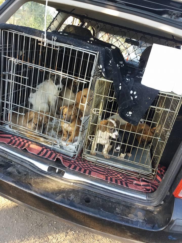 Peste 20 de câini au fost salvați de orădeni din adăpostul de la Dara