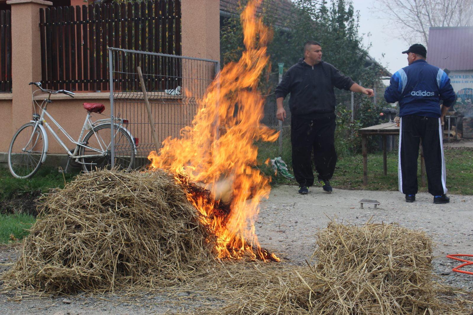 Boxul sătmărean deschide sezonul de tăiat porci în județul Satu Mare – GALERIE FOTO
