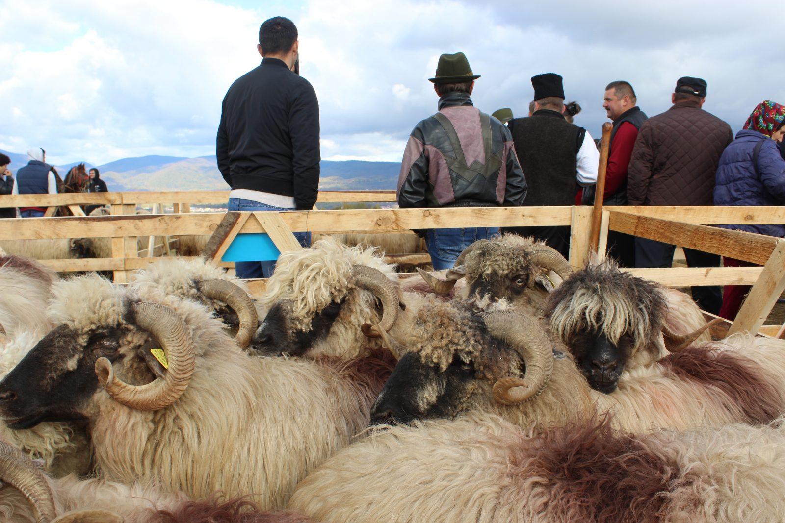 Oierii și-au coborât oile de la munte și au sărbătorit pe dealul dintre Negrești și Certeze