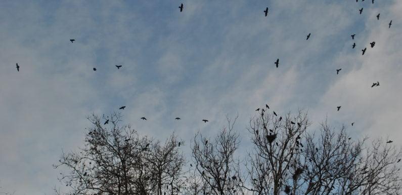 VIDEO!!! Ciorile din Grădina Romei nu se dau bătute. Înnegresc cerul în fiecare dimineață și seară