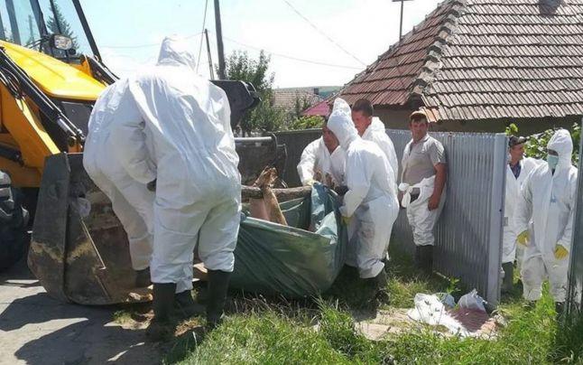 Patru focare de pestă porcină africană din Micula au fost lichidate și eliminat pericolul virusului mortal