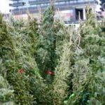 425 de pomi de Crăciun confiscați ieri în Satu Mare